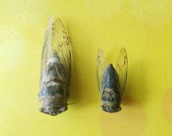 Dried Cicadas