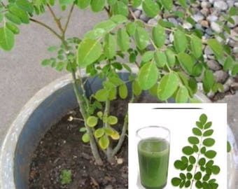 Malunggay Seeds from the Philippine Bureau of Plant Industry 20 Moringa Seeds Pinoy Vegetable
