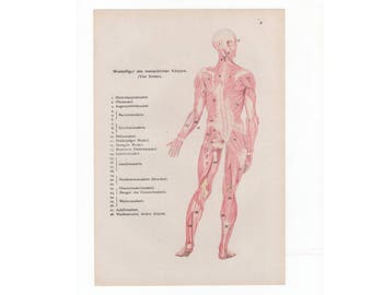 1902 - Human Muscles , an original antique print from 1902, a lithography representing a back view of the human muscular system