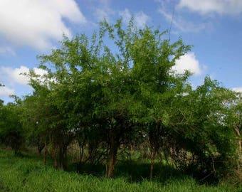50 Seeds Dalbergia melanoxylon, African Blackwood Tree Seeds