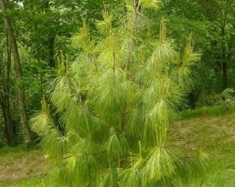 100 Pinus patula .Patula pine Tree  Seeds. Mexican weeping pine.Tree Seeds