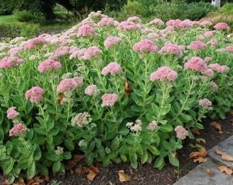 50 Sedum telephium Seeds, Hylotelephium telephium, orpine Seeds
