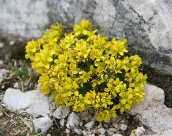 15 Draba aizoides Seeds, Alpine Draba, Alpine Whitlow grass Seeds