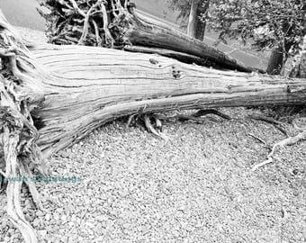 Unique nature Fallen Tree photography print home decor wall art