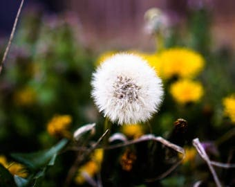 """Dandelion In Nature Art Print Entitled """"The Softest Edge"""" Wall Decor, Potography"""