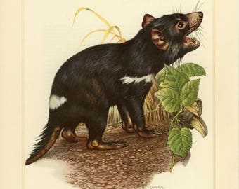 Vintage lithograph of the Tasmanian devil from 1956