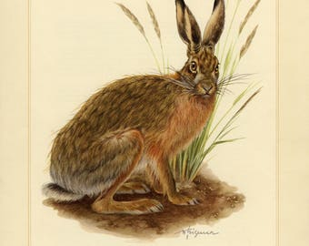 Vintage lithograph of the European hare from 1956