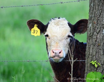 Cow Black and White photo print Canvas or Poster Wall Art Made to Order