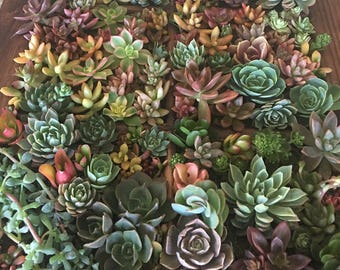 50 succulent cuttings, perfect to add to any mason jar for centerpieces or any other craft project.