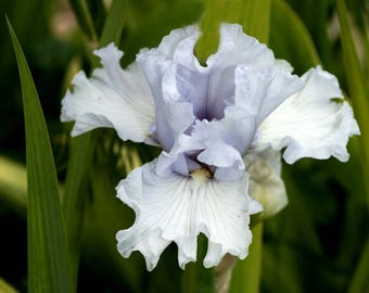 Triamphant, Tall Bearded Iris
