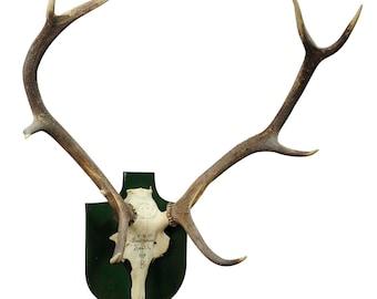 large black forest deer trophy from salem - germany 1957