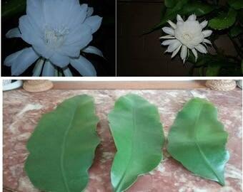 Epiphyllum Oxypetallum. Queen of the Night. Set of 3 Cuttings.