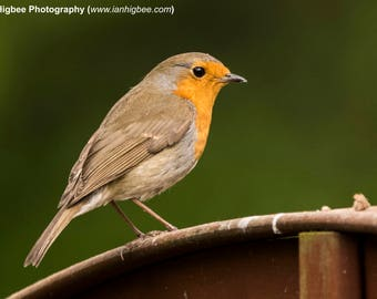 Robin on the fence