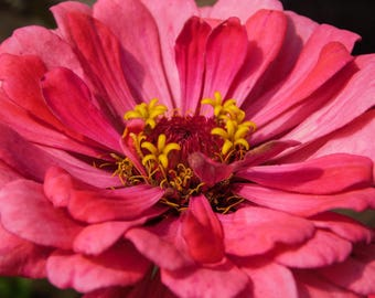 Floral Photography Print, Pretty Pink Flower