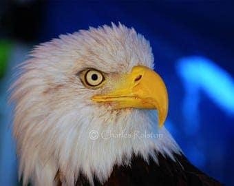Glass Print - American Bald Eagle