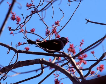Red-Winged Blackbird and Blossoms 8''x10'' photographic print Nature / New Jersey