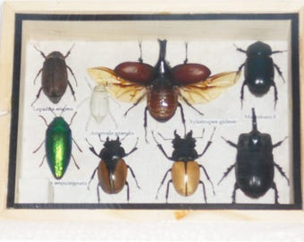 REAL MIXED BEETLE Scorpion  Insect Boxed Framed Taxidermy Display Wood Box For Collectibles