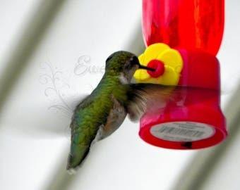 Wildlife Photography, Hummungbird Photography, Animal Photography, Nature Photography, Wall Art, Photography Print, Nature Print, Bird Print