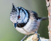 Crested Tit Blank Greetin...