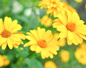 digital photo download, home decor, beautiful, juicy, summer nature, yellow flowers