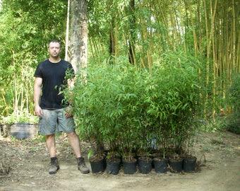 Black Bamboo - Live Bamboo Plant - 2 Gallon Size - Free Shipping