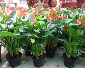 """Hawaiian Red Anthurium Live Plant - Growing in 4"""" pot"""