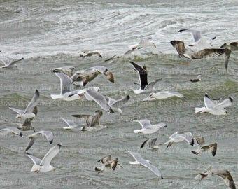 Flocking Gulls