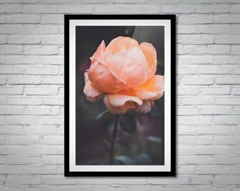 Nature Photography - Peach Rose Photo Print