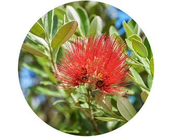 Adhesive Wall Decal  | Pohutukawa Flower
