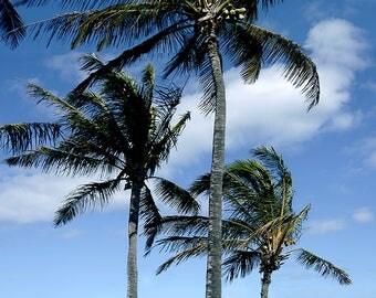 Coconut palms - Kona, Hawai'i