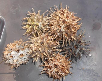 Sweet Gum Button Balls