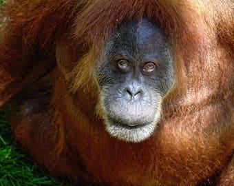 Orangutan Looking Up