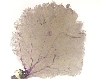 Beach Decor - Large Natural Purple Bahama Sea Fan (#5) - coral, coastal, nautical, seashells, starfish sealife