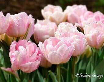 Soft Pink Tulips Photography, Still Life, Botanical, Spring Photo, Garden Photography, Flower Photo, Pink Flowers, Spring Flowers, Tulips