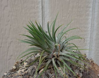 75% OFF 4 Pack XL Tillandsia Ionantha Guatemala SALE As Is