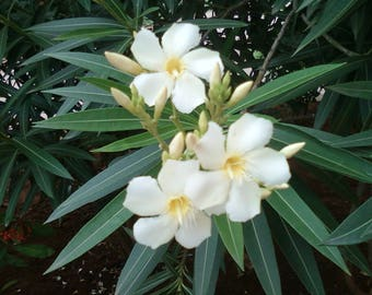 White Nerium Oleander Seeds - 25 Seeds