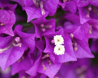Bougainvillea Seeds (Color: Purple). Qty. 20  Seeds