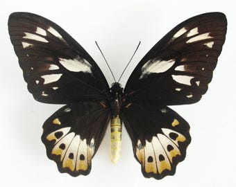 ONE Real butterfly Ornithoptera priamus poseidon birdwing female 7in wingspan! unmounted wings closed