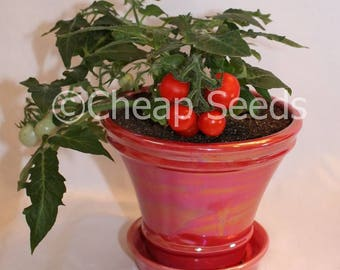 Micro Tom Tomato Perfect for Office or House Plant, Year Round Growing, 10 Seeds