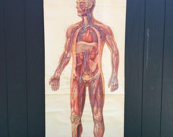 Vintage full human body anatomy chart educational school pull down German