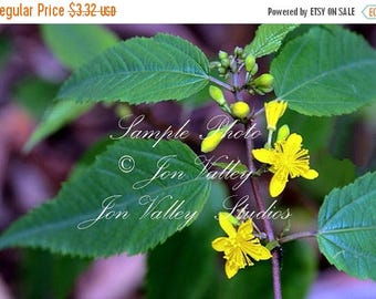 25 seeds White Jute Tropical Herb Rare! Bright Yellow Flowers year round Container or garden annual Corchorus capsularis