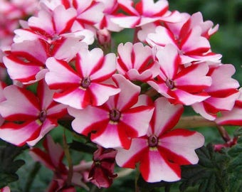 AVEL)~LANAI CANDY Cane Red Verbena~Seeds!~~~~~What a Beauty!