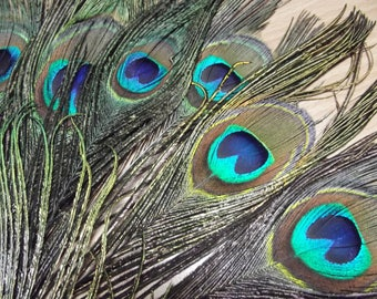 "15 peacock feathers from 15 to 30 cm ""eye line"" superior quality"