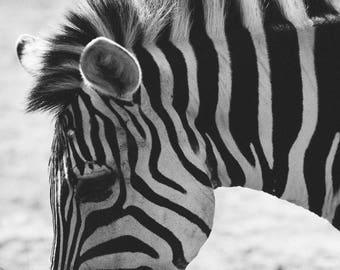 Zebra - Zebras Wildlife Animal Print Photography Black and White Fine Art Print