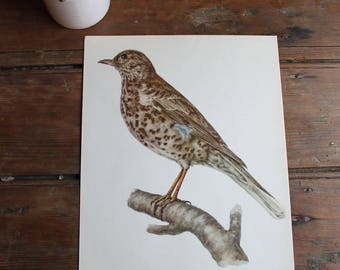 Vintage Missile Thrush Print, Bird Illustration, Framable Art