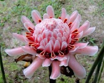 Etlingera elatior Pink Torch Ginger 10 seeds