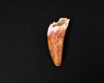 Crocodile Fossil Tooth (Sarcosuchus sp.)
