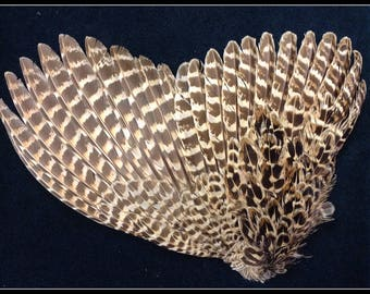 pheasant wing from a hen ringneck pheasant, pheasant wing feathers