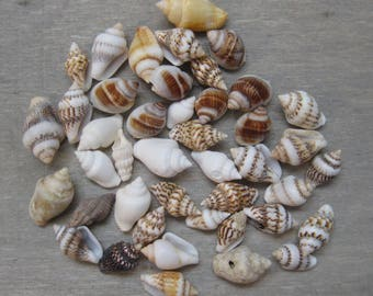 Small Craft Shells - Pack of 50 Assorted - 10 - 15mm Long