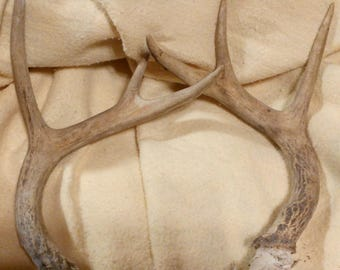 White Tail Deer Antlers...Clean